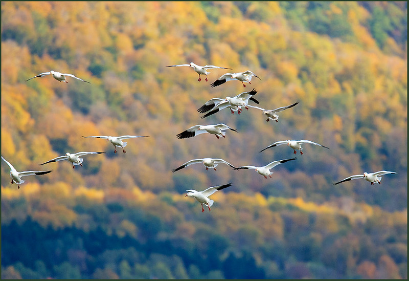 Snow geese, Dead Creek WMA, Vermont