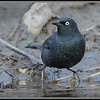 Rusty Blackbird, male