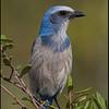Florida Scrub Jay,