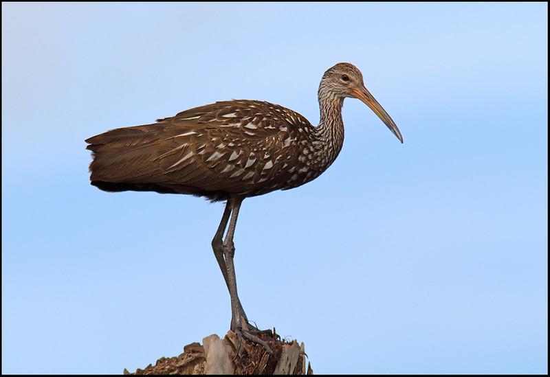 Limpkin, Viera Wetlands