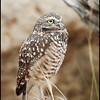 Burrowing Owl-captive