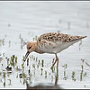 Ruff-female juvenile