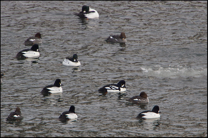 Barrow's Goldeneye-lower right center
