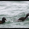 White-winged Scoter