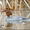 Common merganser-female