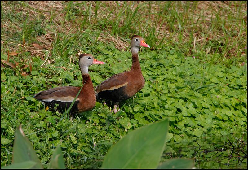 Black-belled whistling duck