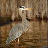 Great B;ue Heron