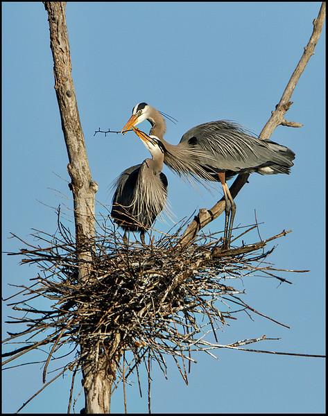 Great B;ue Heron
