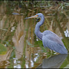 TRicolored heron, Wakodahatchee