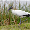 Wood Stork, Viera Wetlands