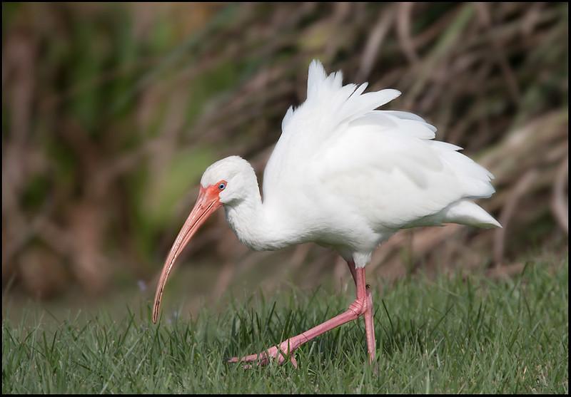 White Ibis, Merritt Island