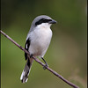 Loggerhead Shrike, Peaceful Waters, Wellington