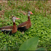 Black-bellied whistling ducks, Wakodahatchee Wetlands