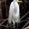 Great Egret, Hutchinson Island