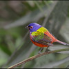 Painted bunting, male, Okeeheelee Nature Center