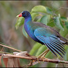 Purple gallinule, Wakodahatchee Wetlands