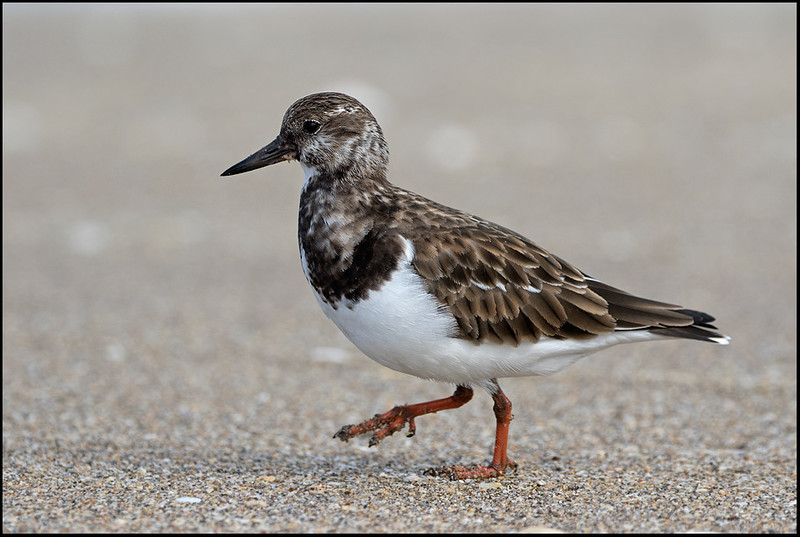 Ruddy Turnstone, Htuchinson Island