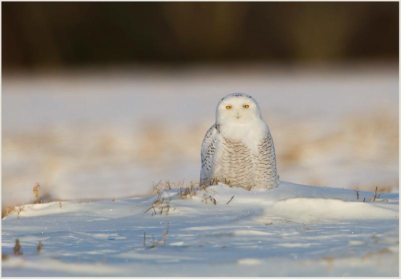 Snowy Owl, Addison, Vermont