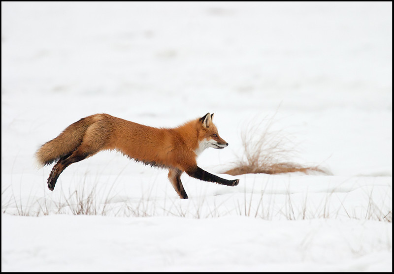 Red Fox, Plum Island, Mass