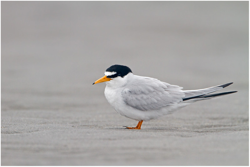 Least Tern, Goose Rocks Beach, Main