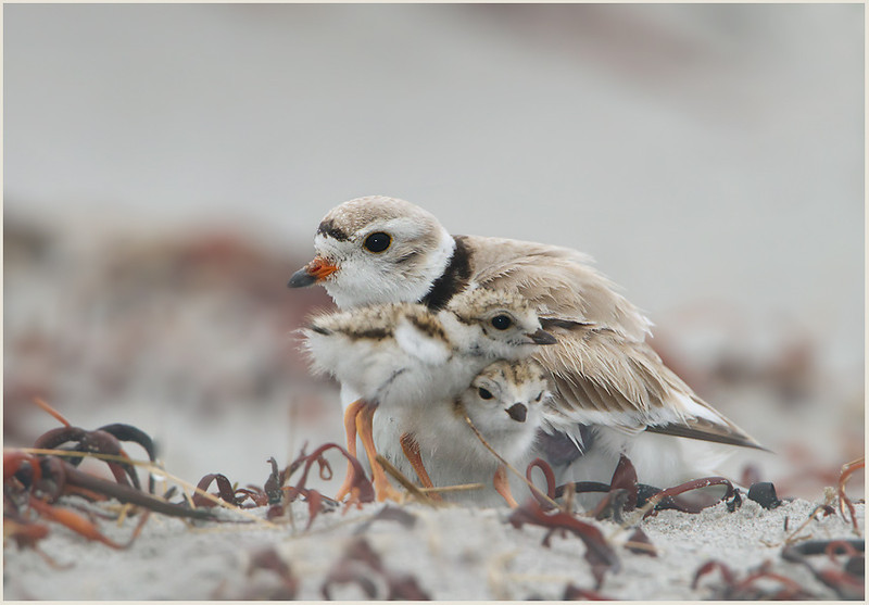 Piping plover, Kennebunkport Mass