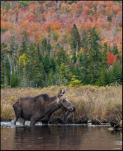 Moose, Connecticut Lakes, NH