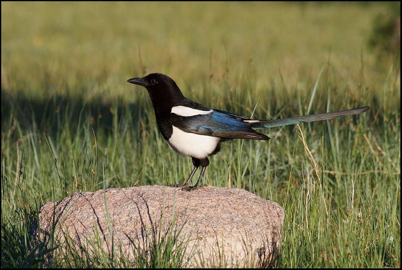 Black-billed magpi