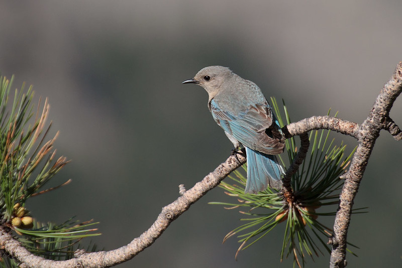 Mountain bluebird, femal