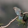 Mountain bluebird, femal