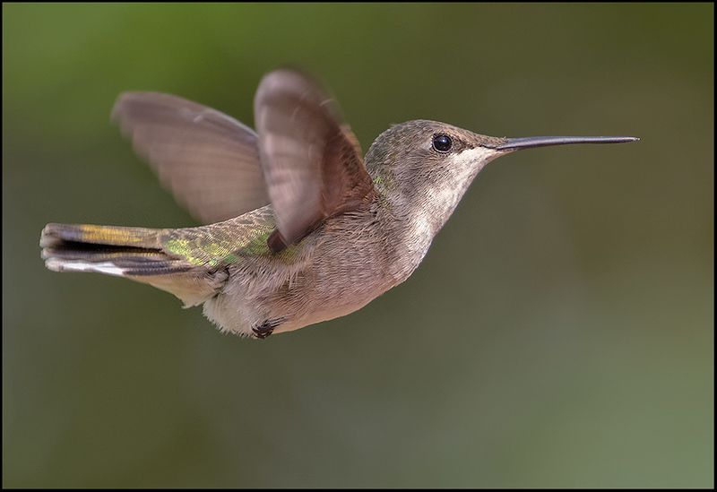 Black-chinned humingbird-female