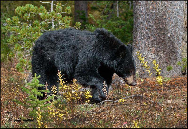 Black bear, Dunraven Pass