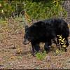 Bear cub, Dunraven pas