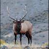 Elk, Mammoth area