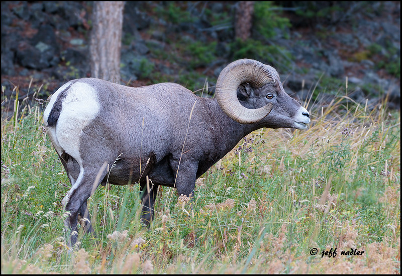 Big horn sheep, north of Tower