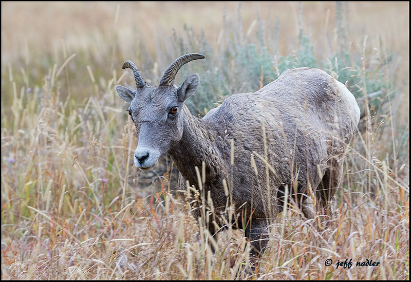 Big horn sheep north of Towe