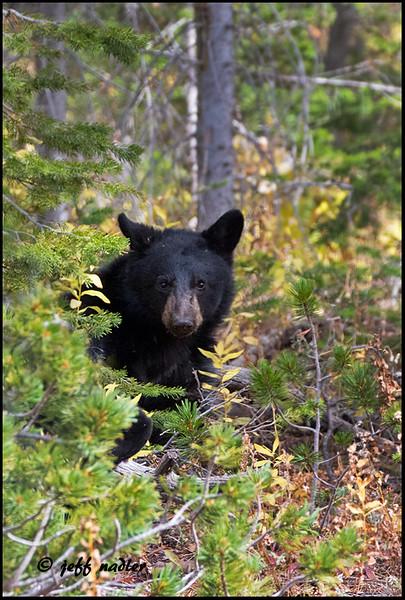 Black bear cub, Dunraven Pass
