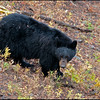 Black bear, Dunraven Pass