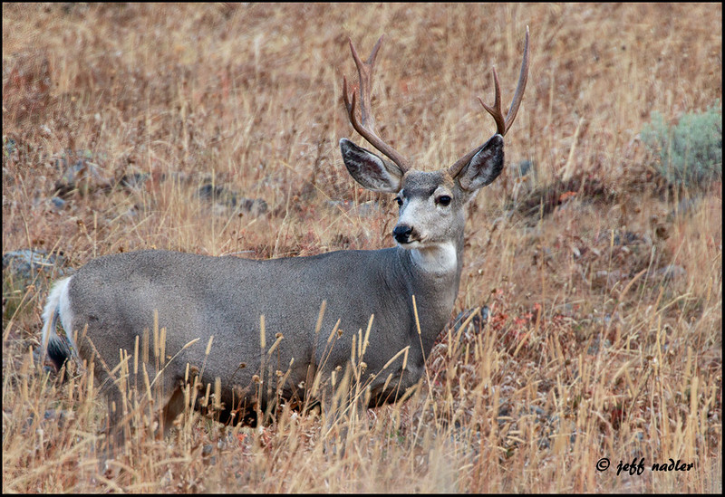 Mule deer, Mt. Washburn area