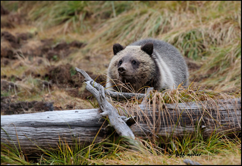 Grizzly bear cub, between Norris & Canyon