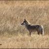 Coyote, Lamar Valley