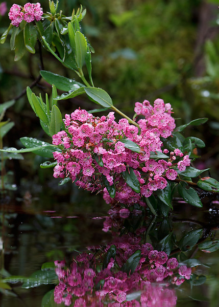 Kalmia angustifolia L. sheep laurel