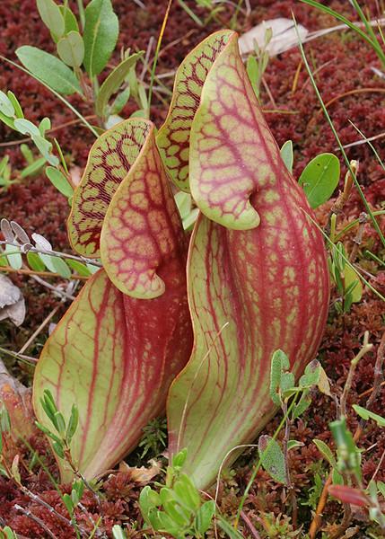 Sarracenia purpurea, northern pitcher plant