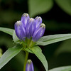 Gentian, narrow-leafed
