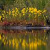 Yellow bladderwort