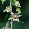 Borad-leaved Helleborine, Epipactis helleborine