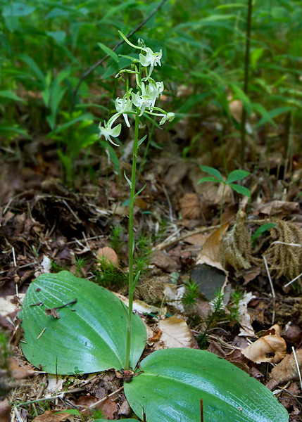 Platanthera macrophylla, pad-leaved orchis