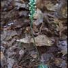 Downy Rattlesnake Orchid (Goodyera pubescens)