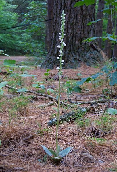 Goodyear tesselata, checkered rattlesnake orchis