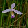 Pogonia ophioglossoides, rose pogonia