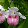 Cypripedium reginae Showy Lady's-slipper